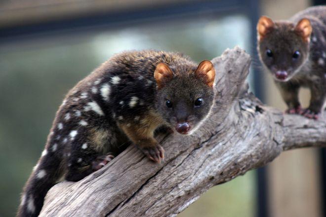 Devils @ Cradle, Cradle Mountain-Lake St. Clair National Park, Australia