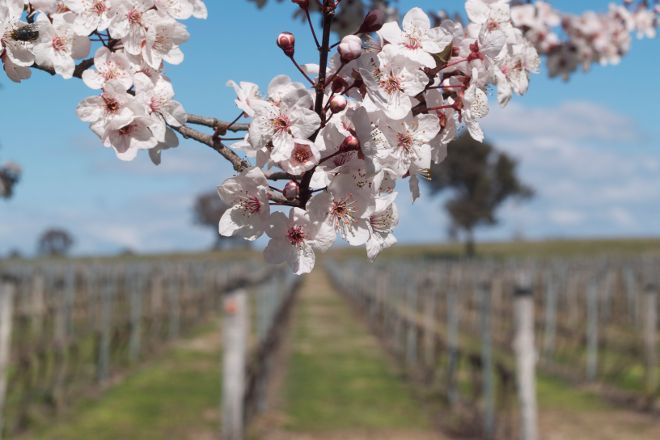 Four Winds Vineyard, Murrumbateman, Australia