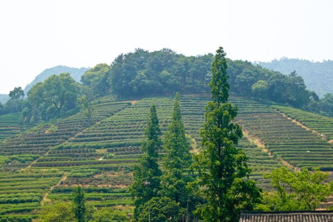 Longjing tea fields, Hangzhou, China